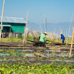 Práce na plovoucích zahradách na jezeře Inle probíhá z loděk