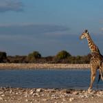 A nebudou chybět ani žirafy