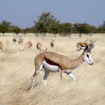 Antilopa skákavá patří mezi nejběžnější antilopy
