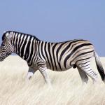 Zebra stepní se pozná podle hnědých mezipruhů