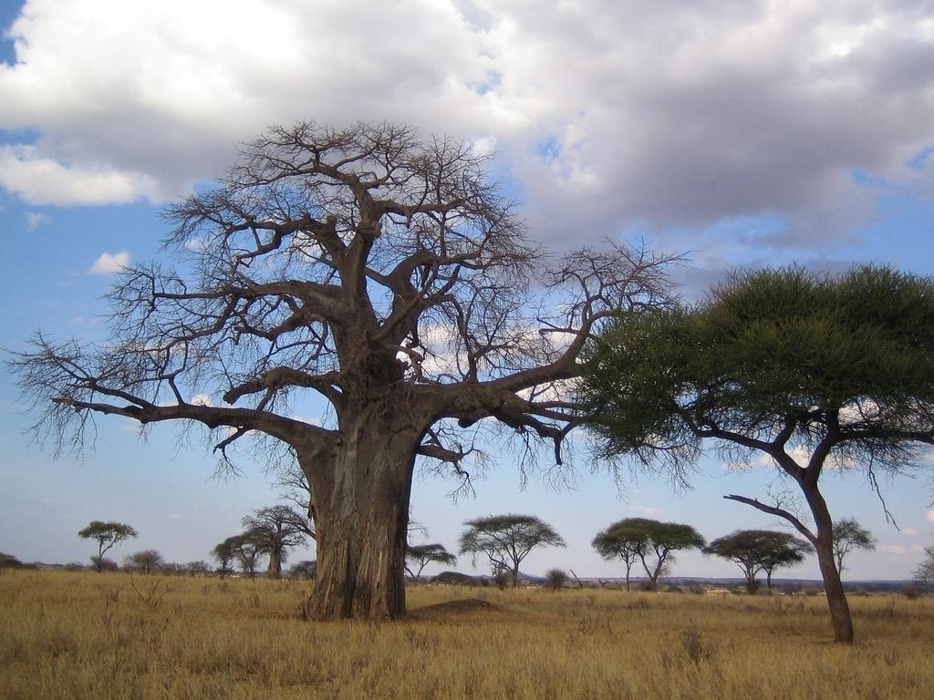 Baobaby zadržují vodu pro období sucha