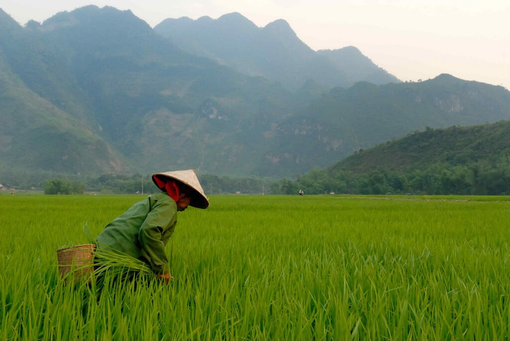Vietnamka sklízí rýži
