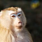 Makak dlouhoocasý, obyvatel džungle