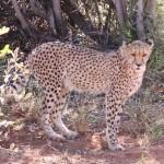 Záchranná stanice gepardů v Otjiwarongu