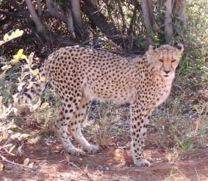 Když budeme mít štěstí, uvidíme i nejrychlejší zvíře planety - geparda.