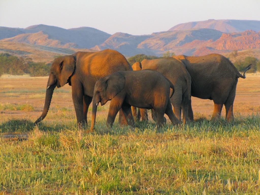 pouštní sloni v Damaralandu