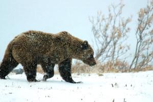Budeme se volně pohybovat v parku, kde jsou medvědi grizzly. Tahle divočina je skutečná.