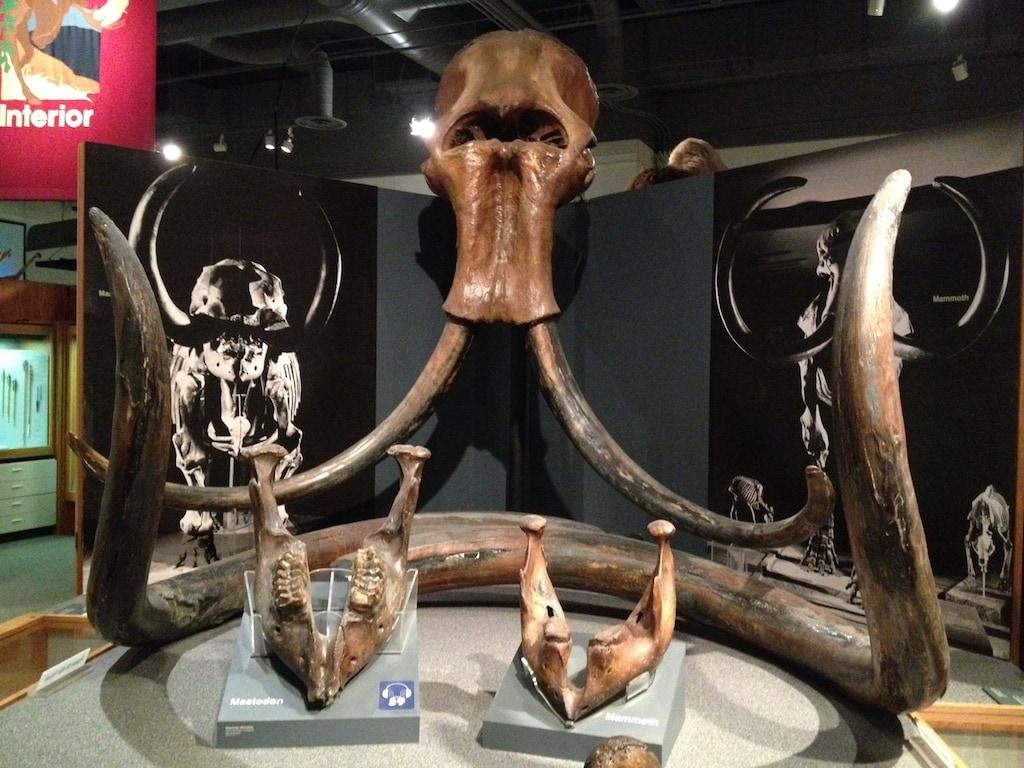 Chcete vidět pozůstatky opravdového mamuta? Muzeum ve Fairbanks je to pravé!