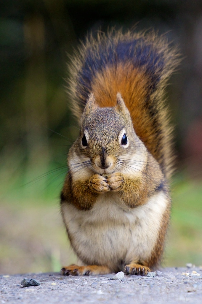American red squirrel holding nut in hands and eating