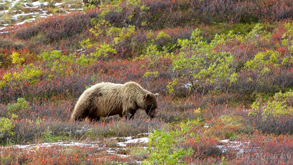 Grizzly in Denail eating berries in colourful tundra