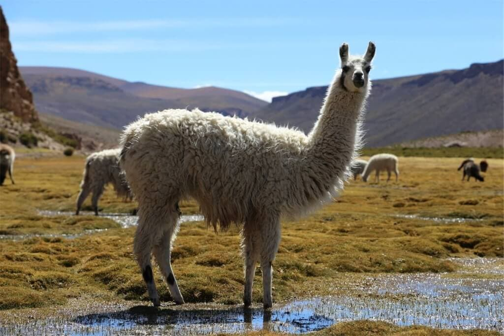 "Divoká vicuña na Altiplanu (<a href=""https://www.flickr.com/photos/f514nc0/14277095792/"" target=""_blank"">White lama</a> od <a href=""https://www.flickr.com/photos/f514nc0/"" target=""_blank"">François Bianco</a> / <a href=""https://creativecommons.org/licenses/by/2.0/"" target=""_blank"">CC SA 2.0</a>)"