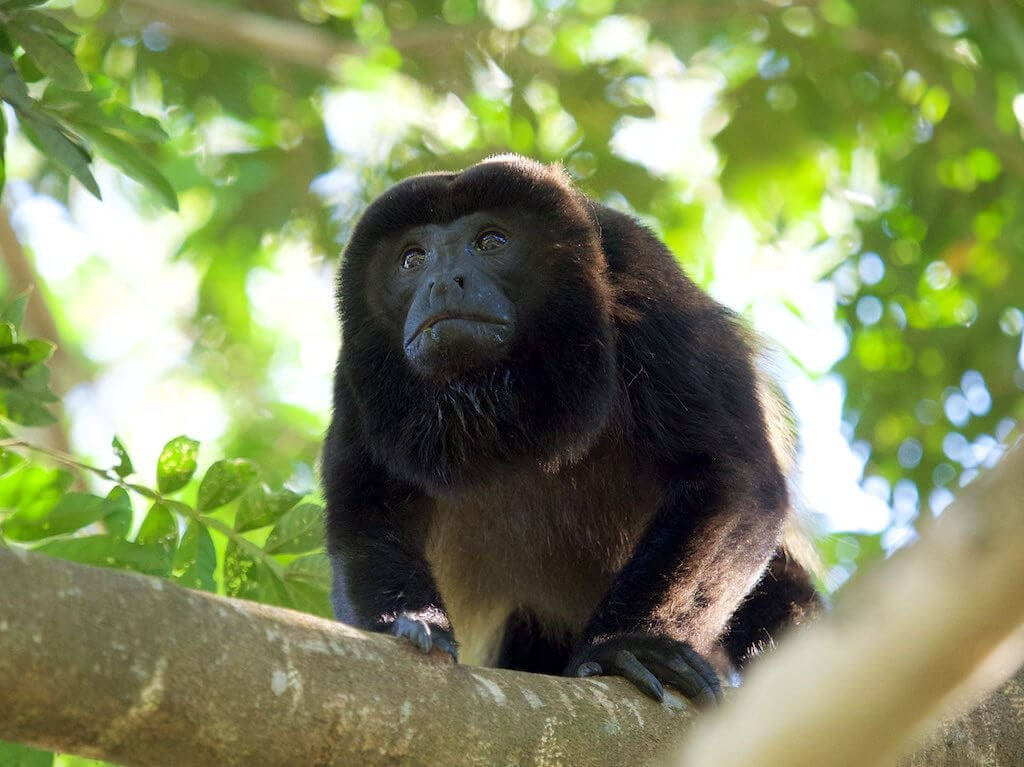 (Howler Monkey od Jan Hazevoeta> / CC BY 2.0)