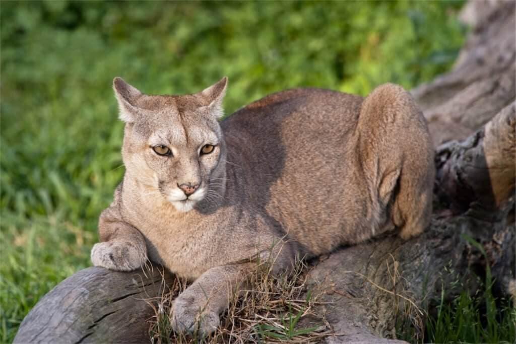 Puma je známý predátor Patagonie, ale museli bychom mít hodně štěstí, abychom ho spatřili