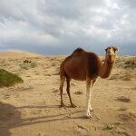 Velbloud na poušti - Kašan - Expedice Írán 2016