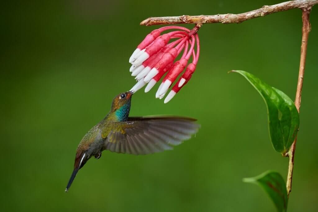 Vmlžných lesích Minda žijí desítky druhů kolibříků