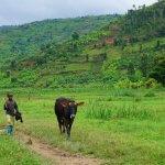 Pasáček krav ve rwandských horách