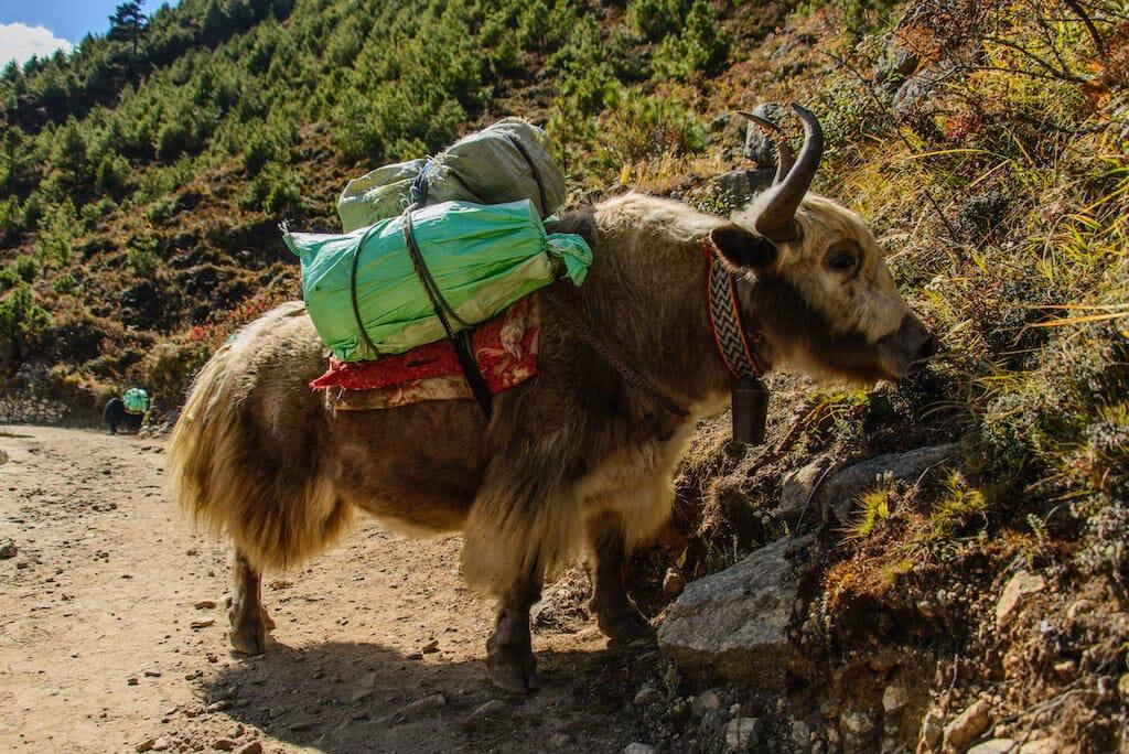 Karavany yaku jsou v horách často k potkání