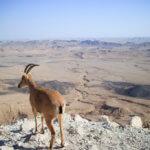 Makhtesh Ramon kráter a okukující přímorožec arabský