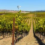 Vinice v kalifornském Napa Valley