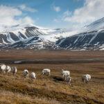 Stejně jako se v Čechách pasou stáda krav a ovcí, na Špicberkách mají stáda sobů