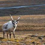 Svalbardský sob