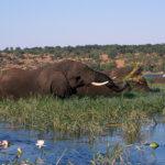 Pasoucí se sloni v NP Chobe