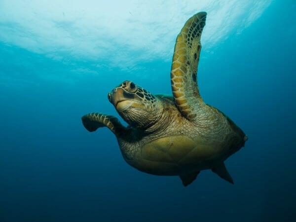 Při šnorchlování na Filipínách narazíte na dva druhy želv. Karetu pravou a karetu obrovskou.