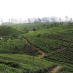 Ella čajové plantáže