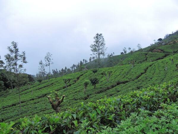 Všudypřítomné čajovové plantáže