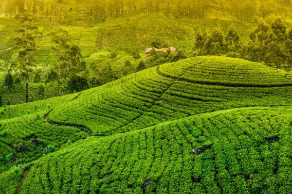 Čajová plantáž Srí Lanka