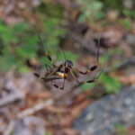 Pavouk Golden Orb