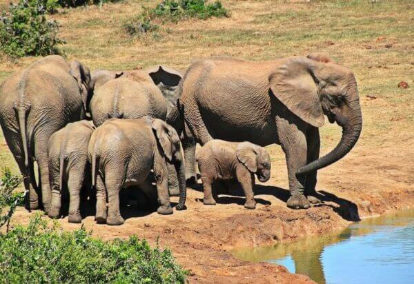 Sloni, Addo Elephant National Park