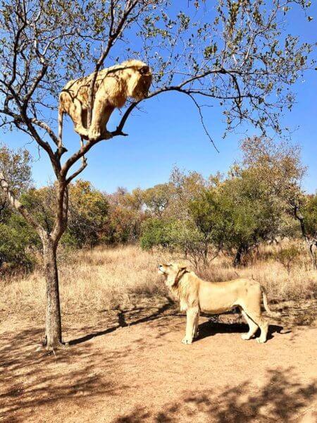 """""""Polez dolů""""...""""Ne, nejdřív jdi pryč..."""", Kruger National Park"""