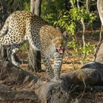 Leopard, Kragga Kamma Game Park