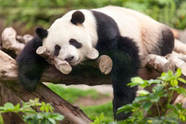 Panda z chovné stanice v Chengdu