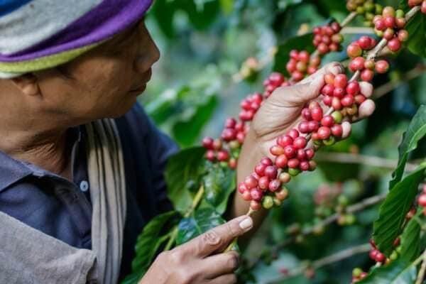 Kávové plantáže Kebun Kalisat