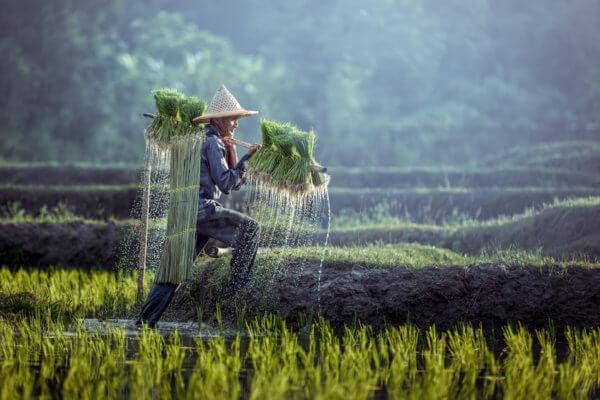Farmář na rýžovém poli