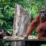 Orangutani v NP Tanjung Puting