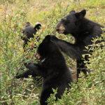 Medvědí rodinka přímo při večeři