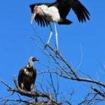 Sup africký a marabu africký na jednom stromě