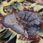 Živoucí fosilie welwitschie podivná