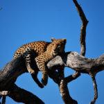 V NP South Luangwa je velká šance na spatření levharta