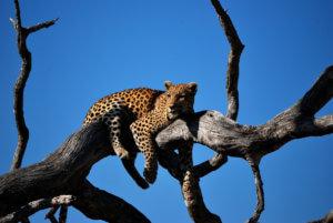 V NP South Luangwa je jedna z nejvyšších koncentrací levhartů na světě