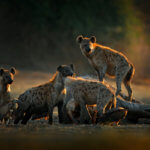 Hygienická četa v akci - hyeny a supové se postarají o mršinu slona