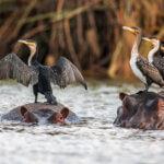 Anhinga africká si po každém lovu musí usušit křídla