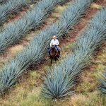 Agávové plantáže v okolí Oaxaky