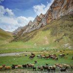 Na pastevce a jejich stáda narazíte v Kyrgyzstánu téměř na každém kroku